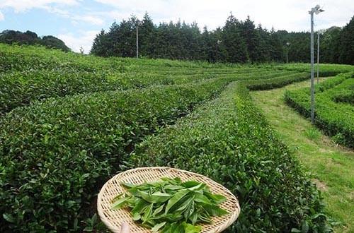 matcha maccha piantagione di te verde giapponese tuttogiappone